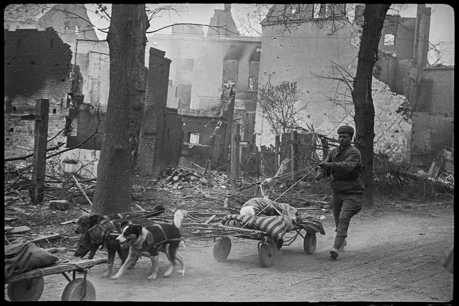 Эвакуация раненых солдат на собаках. Зееловские высоты, Германия. Апрель 1945 года.
